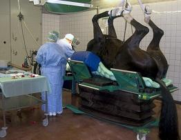 Image of horse undergoing surgery