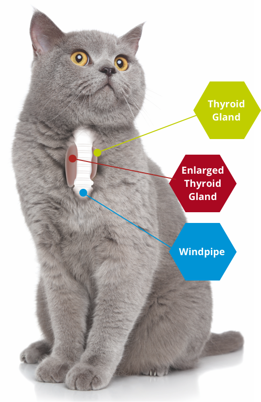 location of thyroid gland in cats