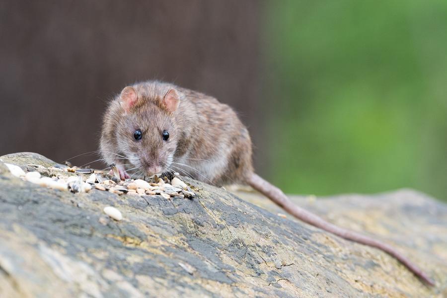 Free range rat