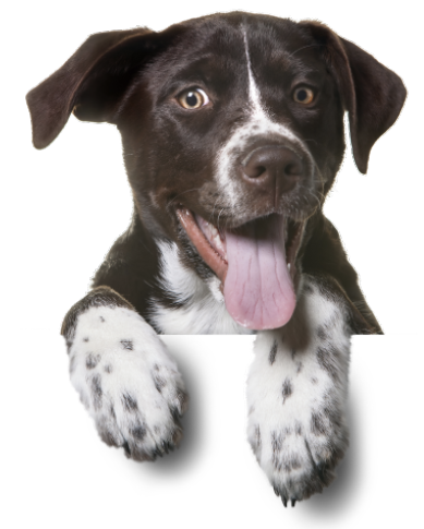 Image of a brown and white young dog
