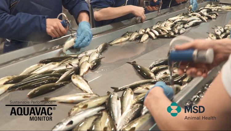 Image of Aquavac monitor video depicting fish vaccination